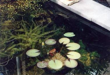 Vijvers met groen water helder maken zweefalg in vijverwater